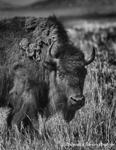 1300 Bison, Grand Teton National Park, WY