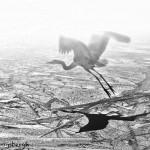 1361 Great Blue Heron, Foggy Morning Flight Over Ice, Hagerman National Wildlife Refuge, TX