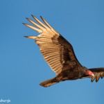 1089 Turkey Vulture in flight, Hagerman National Wildlife Refuge, TX