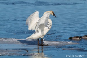 1090 Trumpeter Swan, Grand Teton National Park, MT