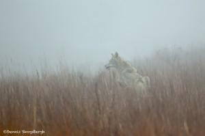 1119 Coyote, Wichita Mountains NationalWildlife Refuge, OK