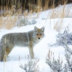 1126 Coyote, Yellowstone National Park