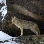 1127 Coyote, Yellowstone National Park