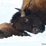 1128 Injured Bison Calf, Yellowstone National Park