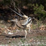 1132 Roadrunner, Hagerman National Wildlife Refuge, TX