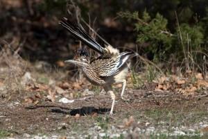 1132 Roadrunner, Hagerman National Wildlife Refuge, TX