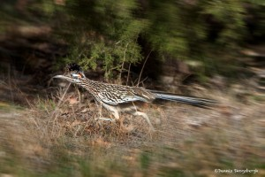 1134 Roadrunner, Hagerman National Wildlife Refuge, TX