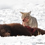 1136 Coyote, Bison Calf, February, Yellowstone National Park