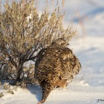 1137 Sage Grouse, Female, February, Yellowstone National Park