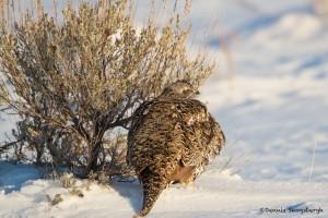 1137 Sage Grouse, Female, February, Yellowstone National Park