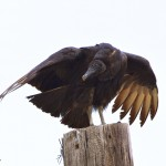 1141 Black Vulture, Hagerman National Wildlife Refuge, TX