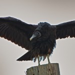 1142 Black Vulture, Hagerman National Wildlife Refuge, TX