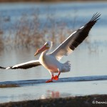 1145 American White Pelican, Hagerman National Wildlife Refuge, TX