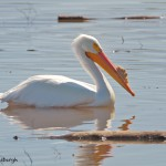 1146 American White Pelican, Hagerman National Wildlife Refuge, TX