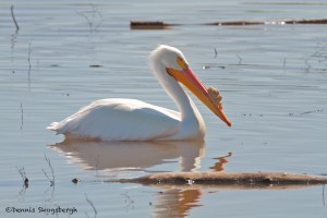 1146 American White Pelican, Hagerman National Wildlife Refuge, TX