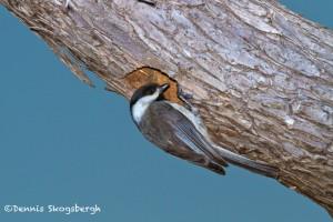 1154 Female Tree Swallow, Hagerman national Wildlife Refuge, TX