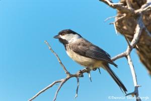1155 Female Tree Swallow, Hagerman National Wildlife Refuge, TX