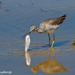 1157 Greater Yellow-legs, TX
