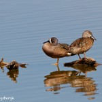 1158 Blue-winged Teal, TX