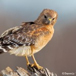 1159 Red-shouldered Hawk, Hagerman National Wildlife Refuge, TX