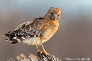 1159 Red-shouldered Hawk, Hagerman National Wildlife Refuge, TX