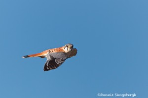1161 American Kestrel, Hagerman National Wildlife Refuge, TX