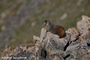 1165 Marmot