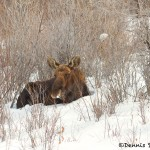 1168 Bull Moose, January, Yellowstone National Park