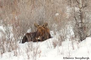 1168 Bull Moose, January, Yellowstone National Park