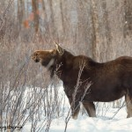 1169 Moose, Cow, January, Yellowstone National Park