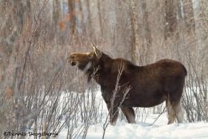 1169 Moose, Cow, January, Yellowstone National Park