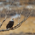 1170 Bald Eagle, January, Yellowstone National Park