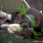 1171 Beaver