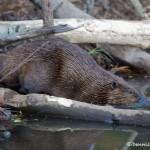 1172 Beaver