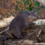 1173 Beaver