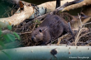 1174 Beaver