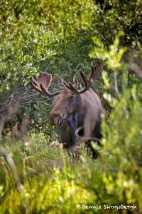 1176 Bull Moose