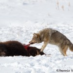 1178 Coyote, Bison Calf, February, Yellowstone National Park