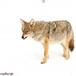 1179 Coyote, February, Yellowstone National Park