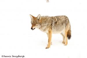 1179 Coyote, February, Yellowstone National Park