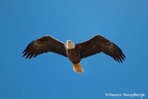1181 Bald Eagle, Sequoyah National Wildlife Refuge, OK