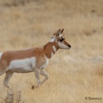 1183 Female Pronghorn, January, Yellowstone National Park