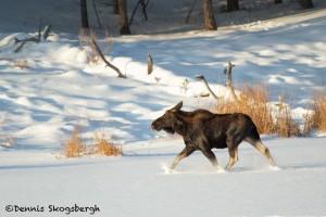 1185 Bull Moose, January, Yellowstone National Park