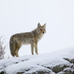 1187 Coyote, February, Yellowstone National Park