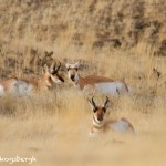 1188 Pronghorn Antelopes, February, Yellowstone National Park