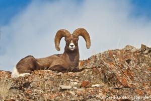 1190 Bighorn Sheep (Ram), January, Yellowstone National Park