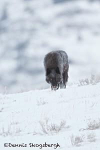 1189 Black Wolf (alpha), February, Yellowstone Naitonal Park