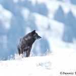 1191 Black Wolf (alpha), February, Yellowstone National Park