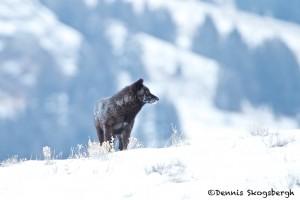 1191 Black Wolf (alpha), February, Yellowstone National Park
