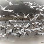 1192 Pelicans, Hagerman National Wildlife Refuge, TX